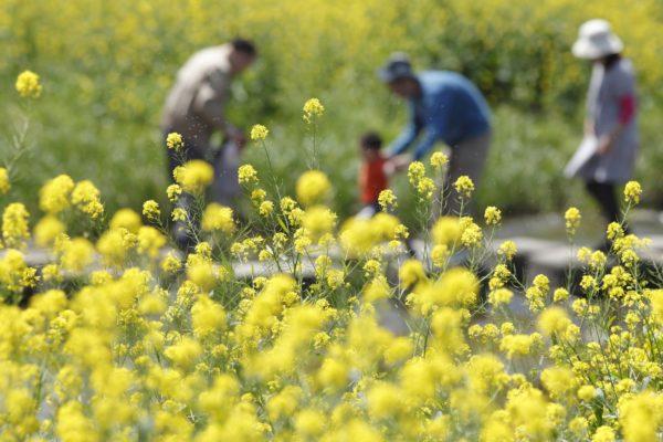 注射 花粉